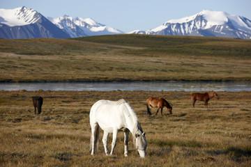 Horses on plateau Ukok