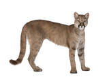 Portrait of Puma cub, Puma concolor, 1 year old, standing, studi