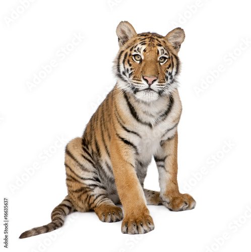 Keuken foto achterwand Tijger Portrait of Bengal Tiger, 1 year old, sitting, studio shot, Pant
