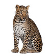 Portrait of leopard, Panthera pardus, sitting, studio shot