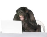 Portrait of Chimpanzee playing with a laptop, studio shot