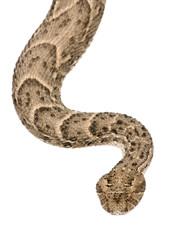 Saharan horned viper, Cerastes cerastes, studio shot