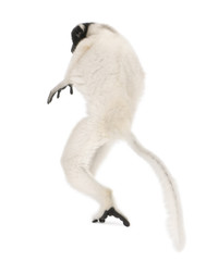Young Crowned Sifaka, Propithecus Coronatus, 1 year old, walking