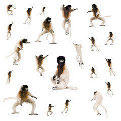 Collage of Young Crowned Sifaka, Propithecus Coronatus, studio s