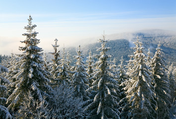 winter spruces in mountain