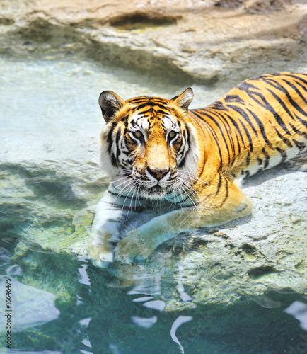 Obraz Tygrys bengalski w pobliżu wody ....