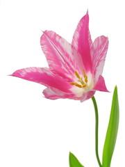 virus-infected tulip