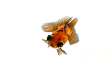 Dragon Eye Goldfish with butterfly tail isolated on white