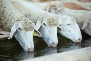 tre pecore