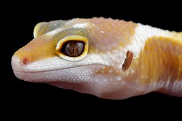 eublepharis macularius, gecko leopard