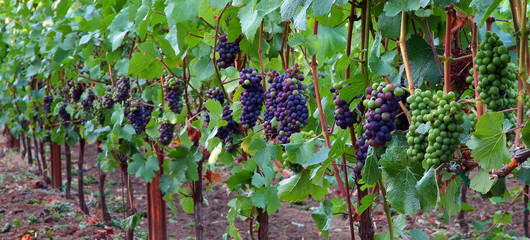Panoramic of Pinot Noir Grapes During Veraison
