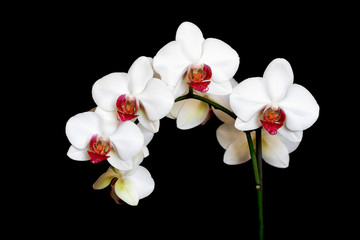 beautiful white and pink orchid