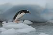 Leinwanddruck Bild - Gentoo Penguin