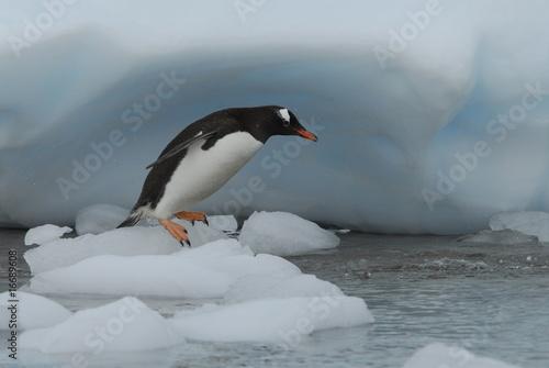 Leinwanddruck Bild Gentoo Penguin