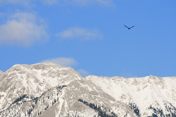 eagle over rocky mountains, jasper, canada