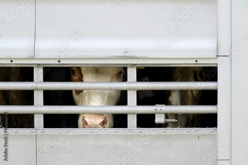 Leinwandbild Motiv cow transport