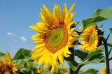 Fototapeta Sonnenblume 3.2