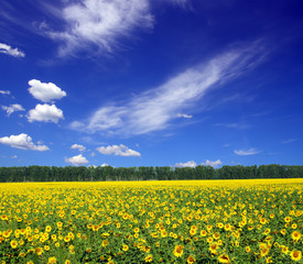 sunflowers field under sky
