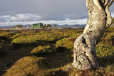 The nordic birch and a tent