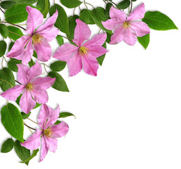 clematis- corner composition, white background