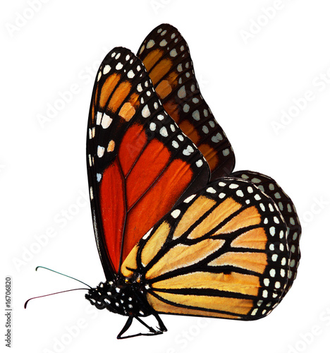 Deurstickers Vlinder Monarch Butterfly