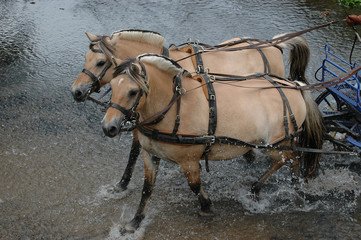 chevaux d'attelage