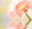 Pink daisy-gerbera with soft focus reflected in the water.