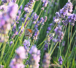 Butterfly on the lavender flowers as spring background
