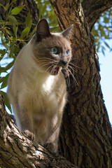 blue eyes cat on the tree