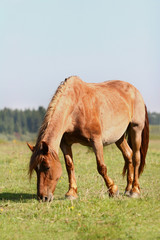 draft horse grazing