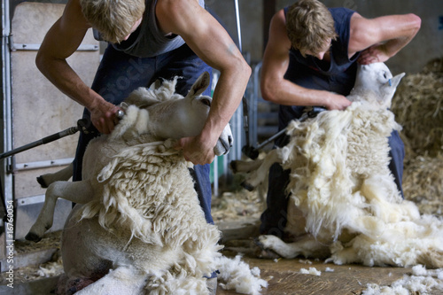 Young farmers shearing sheep for wool in barn