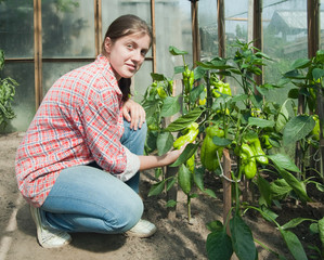girl picking  green pepper  in thehothouse