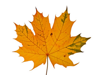 autumnal maple leaf isolated on white background
