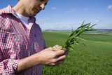 Close up of farmer examining young wheat crop