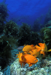 Garibaldi fishes in a kelp forest