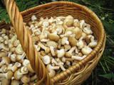eatable mushrooms in the big basket poster