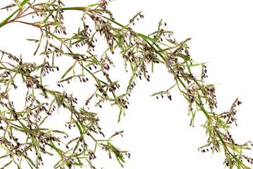 fleurs de citronnelle ou lemon grass, Cymbopogon citratus