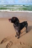 Dog posing on the beach, Baltic sea. poster