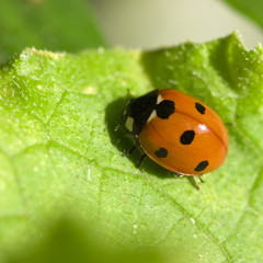 insect of a ladybird on green sheet