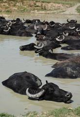 Water Buffalo Wallowing in Mud, Hungary