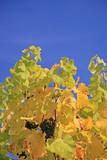 Vine plant in vibrant colors poster