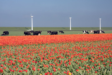 Dutch landscape: a dike with windmills, cows and tulips