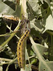 Caterpillars destroying brassica crop.