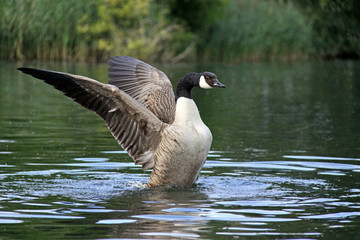 Canada / Canadian Goose flapping wings on a river