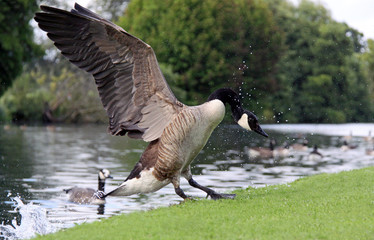 Canada / Canadian Goose landing on a riverside