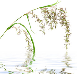 fleurs de lemon grass, Cymbopogon citratus
