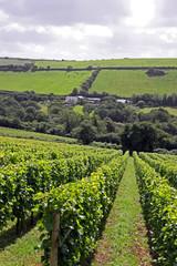 A verdant grape / wine vineyard with farm