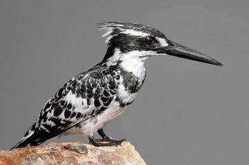 Pied Kingfisher (Ceryle rudis), Maagan Michael Lake, Israel