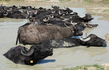 Water Buffalos Wallowing in Mud, Hungary