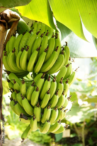 r gime de bananes vertes de fm69002 photo libre de droits 16855636 sur. Black Bedroom Furniture Sets. Home Design Ideas